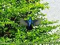 Purple Sunbird (Cinnyris asiaticus) (15893007282).jpg