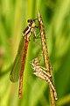 Pyrrhosoma.nymphula5.-.lindsey.jpg