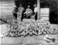 Queensland State Archives 2650 Pineapples for shipping Beerburrum January 1920.png