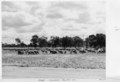 Queensland State Archives 5287 Sheep Quilpie Adavale Road Quilpie January 1955.png