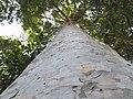 Queensland kauri (Agathis robusta).jpg