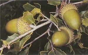 Quercus coccifera - Image: Quercus coccifera