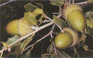 <i>Quercus coccifera</i> species of plant