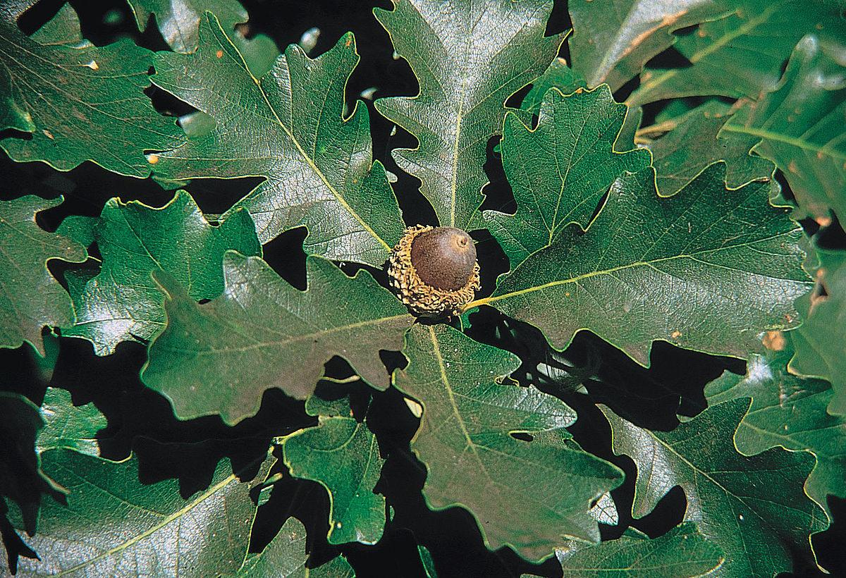 quercus macrocarpa wikipedia