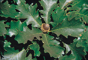 Quercus macrocarpa - Bur oak leaves and acorn