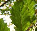 Quercus trojana (18).JPG