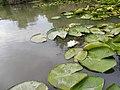 RO TL Delta Dunării (Nymphaea alba).JPG