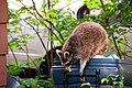 Raccon fleeing annoying photographer (2484046331).jpg