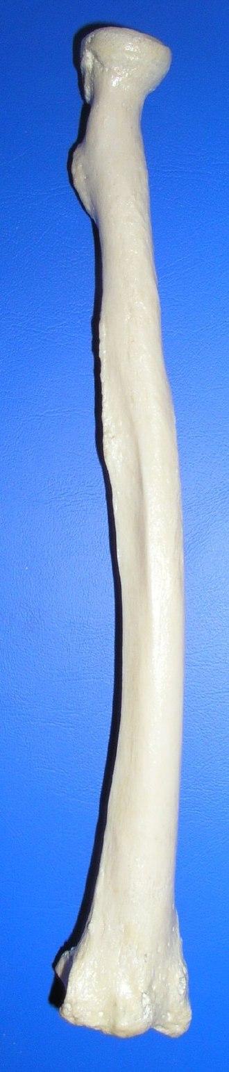 Radial tuberosity - Image: Radius post
