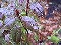 Rain on a rhododendron leaf.jpg