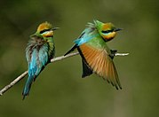 Rainbow Bee-eaters Juffs.JPG