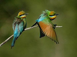 Bee-eater - Rainbow bee-eaters, a Merops species