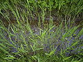 Ranunculus aquatilis overzicht.jpg