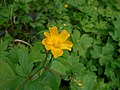 Ranunculus lanuginosus 2017-04-30 9122.jpg