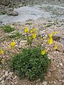 Ranunculus sp, Demirkazık 1.jpg