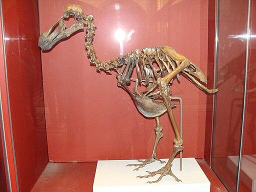 Raphus cucullatus.005 - Natural History Museum of London