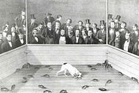 Rat-baiting6.jpg