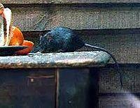 Tikus Hitam (Rattus rattus)