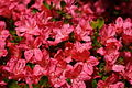 Red-azalea-flowers-spring - West Virginia - ForestWander.jpg