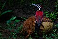 Red-backed Flameback in Sri Lanka 01.jpg