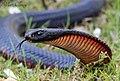 Red-bellied Black Snake (Pseudechis porphyriacus) (8397137495).jpg