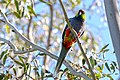 Red-capped Parrot, Blackadder Wetland 1.jpg