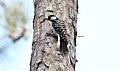 Red-cockaded Woodpecker (Picoides borealis) (32532470642).jpg