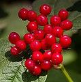 Red Berries 1 (6086101761).jpg