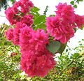 Red Bougainvillea.JPG