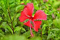 Red Hibiscus with dew drops.jpg