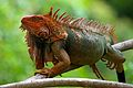 Red head iguana from Costa Rica 2.jpg