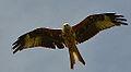 Red kite (9355832929).jpg