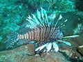 Red lionfish profile.JPG