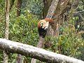 Red panda in Darjeeling Zoo AJTJ P1110780.jpg