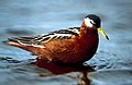 Red phalarope (5745743579).jpg