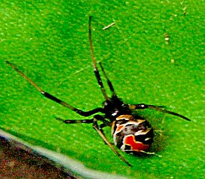 Redback spider - A juvenile female, showing typical white banding