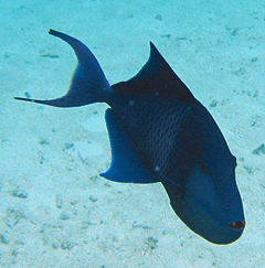 Redtoothed triggerfish3.jpg