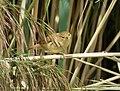 Reed Warbler Acrocephalus scirpaceus (32483784048).jpg