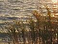 Reeds on lake Siutghiol (AP4P1014 (11194874194).jpg