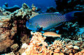Reef2040 - Flickr - NOAA Photo Library.jpg