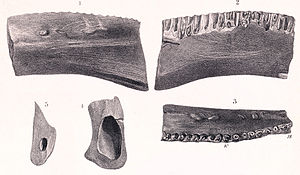 Regnosaurus - Holotype jaw fragment