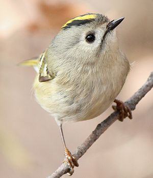 Kinglet - Goldcrest (Regulus regulus) in Japan