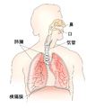 Respiratory-system-日本語版.png