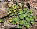 Rhodiola rosea and Potentilla matsumurae.jpg