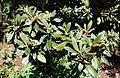 Rhododendron adenogynum - VanDusen Botanical Garden - Vancouver, BC - DSC07305.jpg