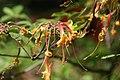 Rhododendron austrinum 9zz.jpg