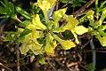 Rhododendron schlippenbachii Lemon Lights 0zz.jpg