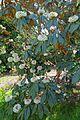 Rhododendron sinogrande - Caerhayes Castle gardens - Cornwall, England - DSC03044.jpg