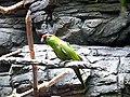 Rhynchopsitta pachyrhyncha -Cincinnati Zoo-6a.jpg