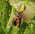 Rhynocoris iracundus probably (30369947137).jpg